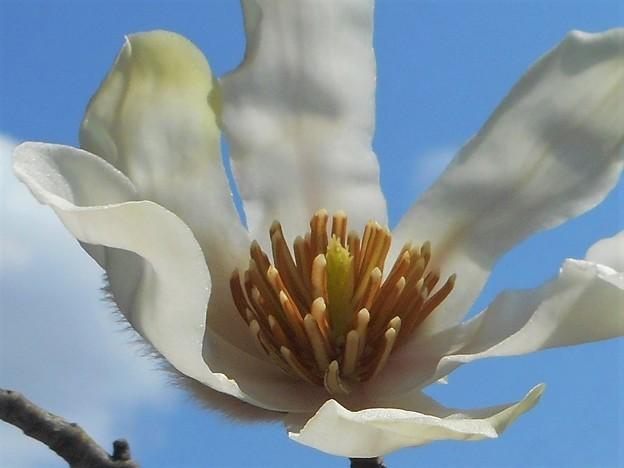 青空に咲く@平木山の辛夷(こぶし)