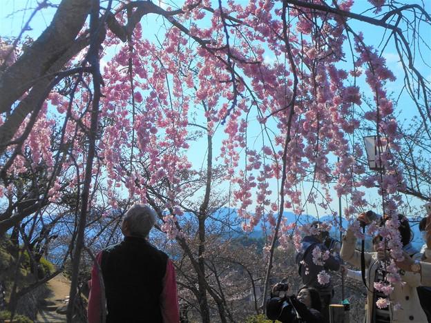 きれいだな~@三春滝桜 in 千光寺山