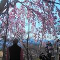 Photos: きれいだな~@三春滝桜 in 千光寺山