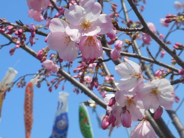 花の季節@端午の節句