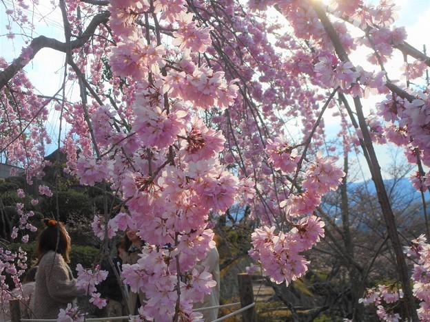 満開の紅枝垂れ桜(三春滝桜) in 千光寺山