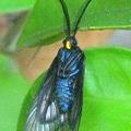 Photos: アンテナには長い毛がいっぱい~珍しい昆虫~