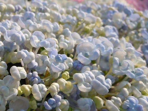 ポップコーンのように咲く~お多福~
