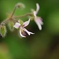写真: ハーブの花
