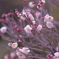 写真: 桃色吐息「梅です」( ´艸`)