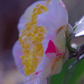 写真: 開花した「広瀬白」椿