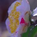 開花した「広瀬白」椿