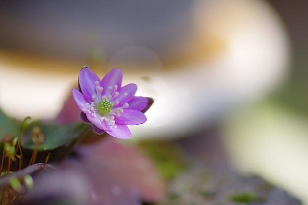 写真: 雪割草開花(#^.^#)