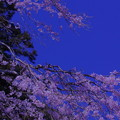 夜桜の様に