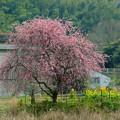 写真: 金熊寺の梅林2