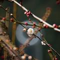 写真: 金熊寺の梅林11(リングボケ)