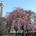 昼は鮮やかに桜タワー