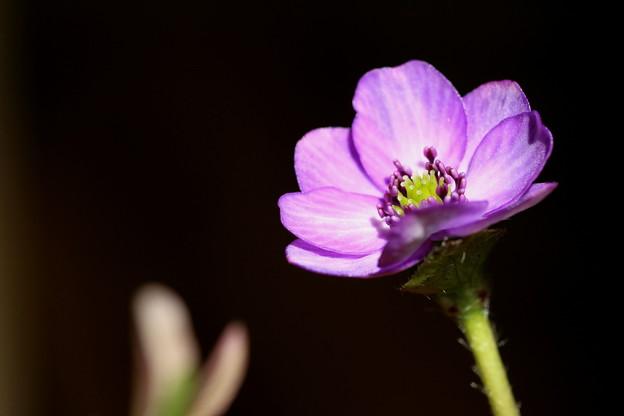 ユキワリソウ 紫 開花(7)