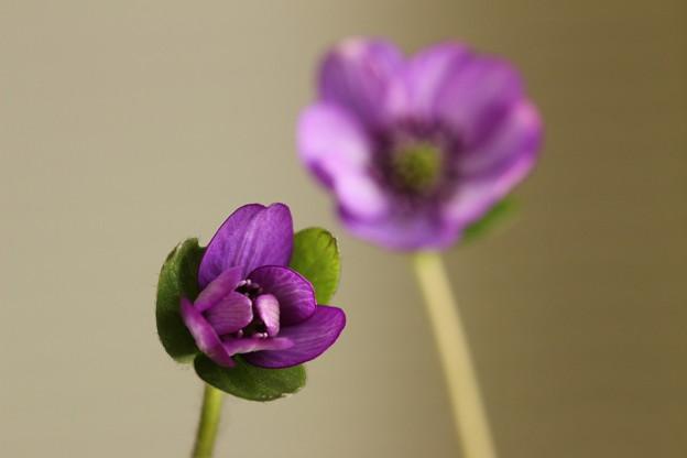 ユキワリソウ 紫(ペア)