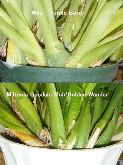 Wils. 'Purple Berry'とMiltonia Goodale Moir 'Golden Wonder'