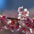 写真: あたみ桜 3
