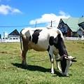 Photos: ヌワラエリヤ、ここは2000mほどの標高で乳牛にもいい気候なんでしょう、雑貨屋でもFresh Milkで売っています