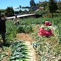 Photos: 長ねぎの収穫です、緑の上のほうがパイプじゃなくてニラのように板状です