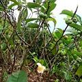 Photos: お茶の花と実です、初めて見ました