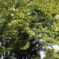 Photos: 万葉集:カツラの木(桂の木) カツラ科