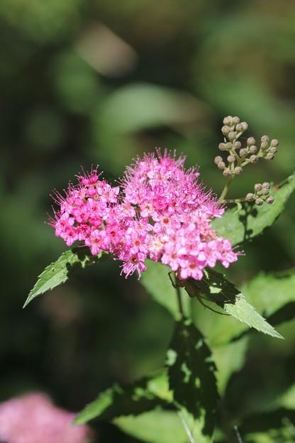 シモツケ(下野) バラ科  赤花