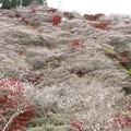 Photos: 小原「せんみ、川見」四季桜の里