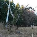 Photos: 富幕山の古木も倒れそうです。