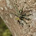 クモラン(蜘蛛蘭) ラン科 果実