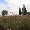 秋桜_公園 D9886