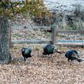 Photos: Wild Turkey (3)