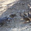 写真: Chicks of California Quail (2)