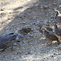 写真: Chicks of California Quail (2)