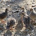 写真: Chicks of California Quail (4)