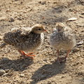 写真: Chicks of California Quail (6)