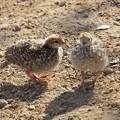 写真: Chicks of California Quail (6)