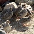 写真: Chicks of California Quail (8)