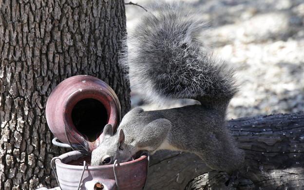 Gray Squirrel (2)