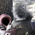 Photos: Gray Squirrel (2)