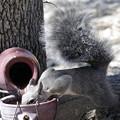 Photos: Gray Squirrel (2)