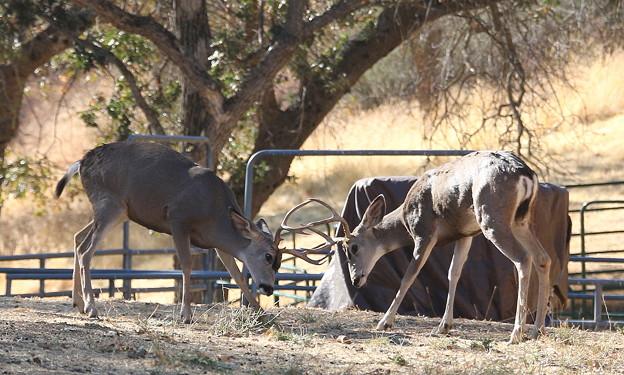Muleの角突き (4)