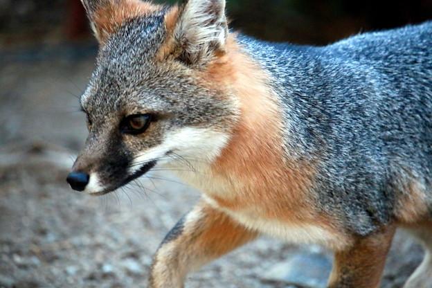 Gray Fox (3)