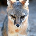 Photos: Gray Fox (6)