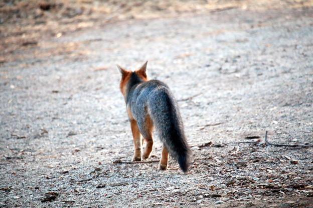 Gray Fox (7)