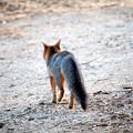 Photos: Gray Fox (7)