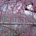 Photos: 桜すだれ