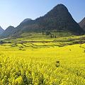 羅平の油菜花景色