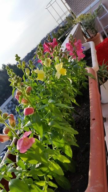 久しぶりのベランダの花たち