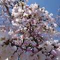 写真: この桜は5分咲きかな~
