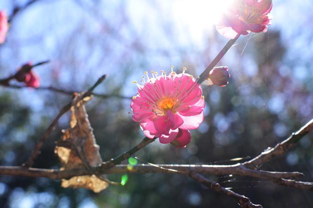 Photos: 梅花
