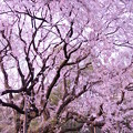 Photos: 六義園の枝垂れ桜